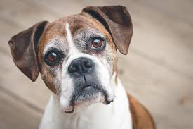 boxer dog disposition 7 dog breeds that are great for anxiety doggie district