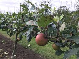 monty don u0027s tips for growing apple trees bt