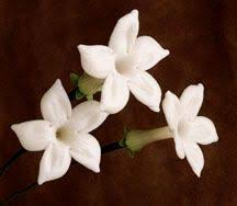 stephanotis flower stephanotis