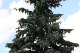 how to plant yearling blue spruce home guides sf gate