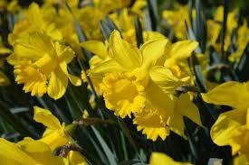 Ideas For Daffodil Varieties Design The Sweet Scent Of Tulips Daffodils U0026 Hyacinths U2013 Dutchgrown