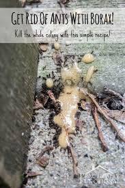 best 25 ants in garden ideas on pinterest black ants slugs in