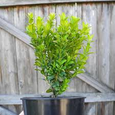 81 best miniature and garden trees shrubs images on