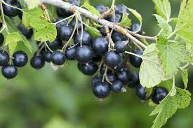 the differences between blueberries and black currants hunker