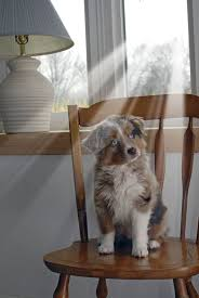 australian shepherd youtube herding 462 best australian shepherds images on pinterest animals