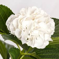 white hydrangeas fresh bulk premium white hydrangea stems 1 75 to 1 85 per stem