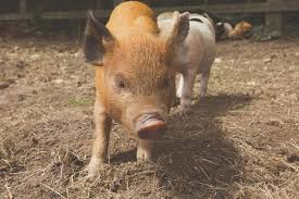 micro pigs sale kew pigs