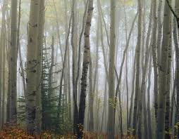 foggy aspen forest near ester interior wall mural interior walls foggy aspen forest near ester interior wall mural