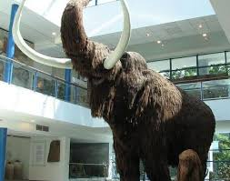 picture 4 6 woolly mammoth mammuthus primigenius pictures