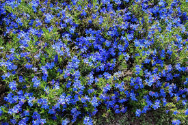 Rock Garden Seattle Perennial Blue Flowers Lithospermum Diffusum In Seattle