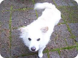american eskimo dog growling jack adopted dog gig harbor wa cairn terrier american