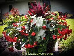 33 begonias images wings flowers garden