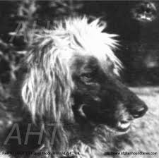 afghan hound breeders victoria afghan hound times zardin page 1 by steve tillotson 2010