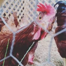 backyard chickens cottage u0026 hen
