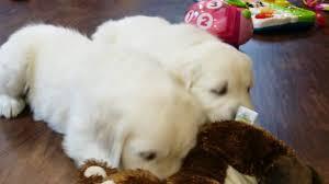 white golden retriever puppies brit girls youtube