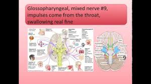 cranial nerves song youtube