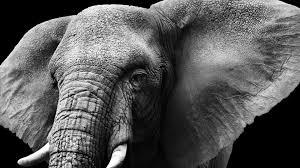 apple wallpaper elephant wallpaper elephant mammal reserve hd 4k animals 10196