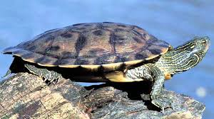 map turtle northern map turtle graptemys geographica