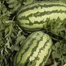 history of the watermelon watermelon seeds u0027jubilee u0027