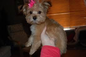 shorkie hair styles shorkie puppies shorkie haircut montana s new do