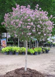 landscaping dazzling korean lilac for your landscaping