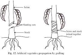 Vegetative Propagation By Roots - artificial vegetative propagation