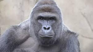 Gorilla Meme - news videos more the harambe the gorilla meme goes too far