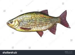 freshwater fish digital illustration freshwater fish common rudd stock