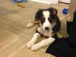 australian shepherd 11 weeks old australian shepherd 3 months should his fur be this short