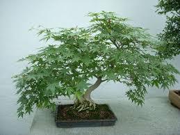 best 25 buy bonsai tree ideas on japanese maple tree