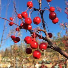 crabapple trees archives knecht s nurseries landscaping