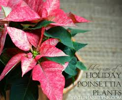 tips for taking care of holiday poinsettia plants tuesday ten