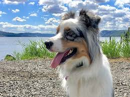 5 month old mini australian shepherd australian shepherd photo of the month