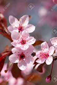 pink cherry blossom in full bloom stock photo picture and royalty