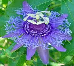 614 best flowers fuchsia passiflora bleeding images on