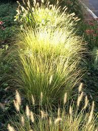 194 best grasses images on grasses landscape grasses
