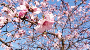 Cherry Blossom Map Are You Ready For Travel Japan The Season Of Cherry Blossom Is