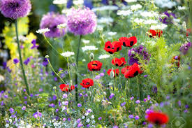 Poppy Flower Garden by Purple Poppy Stock Photos Royalty Free Purple Poppy Images And