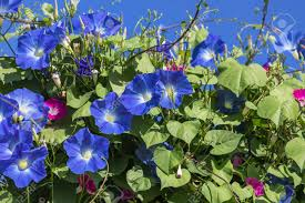 blue morning glory flowers climbing on the wall with blue sky