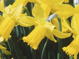 Ideas For Daffodil Varieties Design 18 Favorite Bulb Flowers For Year Round Color Hgtv