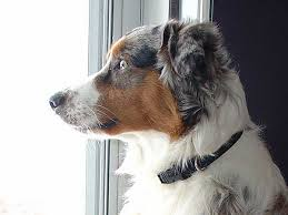 australian shepherd kinds dog separation anxiety and what you can do about it