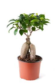 Good Desk Plants 5 Hard To Kill Houseplants Rubber Plant Ficus And Bright Lights