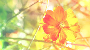 Yellow Orange Flowers - orange flowers wallpapers