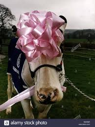 cow ribbon cows cattle prize winning cow wearing pink ribbon on