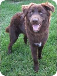 australian shepherd and cats kaynen adopted puppy plainfield il chesapeake bay retriever