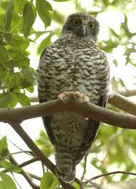 powerful owl birds in backyards