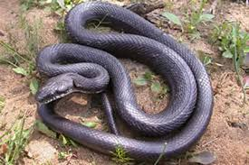rat snake facts
