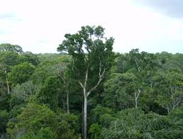 canopy amazon inhales more carbon than it emits nasa finds