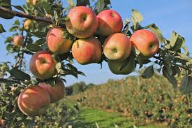 dame farm and orchards new england apples