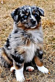 twin oaks 2 australian shepherd 2143 best australian shepherds images on pinterest animals